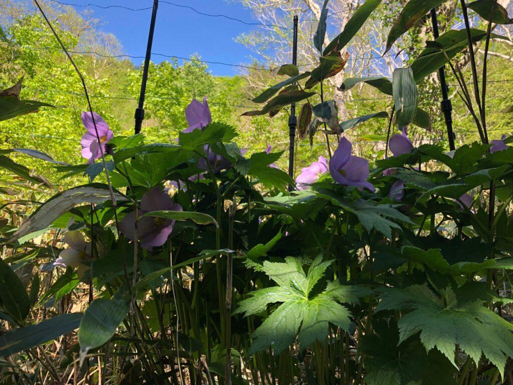 尾瀬 植物